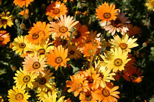 African Daisy 250 Seeds Shades of Yellow Apricot Orange and White Petals