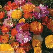 600 California Poppy Seeds Eschscholzia Californica Mixed Color Flower Hardy New