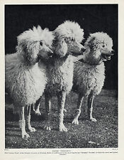 POODLE THREE WHITE DOGS NAMED KENNELS OLD ORIGINAL DOG PRINT FROM 1934