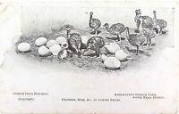 .RARE EARLY 1900'S POSTCARD. BARRACLUFF'S OSTRICH FARM, SOUTH HEAD, SYDNEY