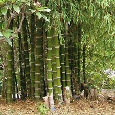 50 Giant Thorny Bamboo Seeds Privacy Climbing Garden Shade Seed 559 Us Seller