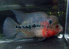 SMALL Red Dragon Flowerhorn Cichlid Live Freshwater Aquarium Fish