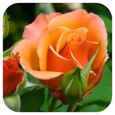 Climbing Rose Bare Root Plant 'Orange' Orange and Apricot Roses