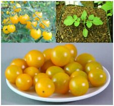 Galapagos Island Tomato (Solanum cheesmaniae) 10 Fresh Seeds Grown 2019