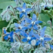 Herb Borage Attracts Bees - 1200 seeds