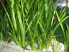 4 Vallisneria spiralis plante aquarium croissance rapide