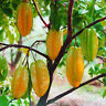 *UNCLE CHAN* STAR FRUIT 20 SEEDS Averrhoa Carambola TASTE GREAT New collect