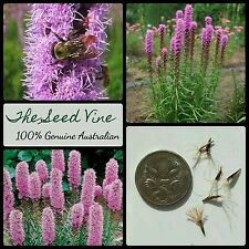 20+ DENSE BLAZING STAR SEEDS (Liatris spicata 'Kobold') Purple Flower Bee Bulk