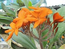 """""""SOM YAI""""FRAGRANT PLUMERIA CUTTING WITH ROOTED 7-12 INCHE WITH CERTIFICATION"""