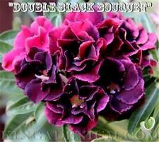 "New listing Adenium Obesum Desert Rose ""Double Black Bouquet "" 10 Seeds Fresh, New Hybrid"
