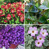 100 Pcs Shamrock Oxalis Triangularis Bulbs Easy to Plant Leaf Flower Seeds NEW