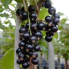 /'Titania verschiedene Größen zur Auswahl Schwarze Johannisbeere Ribes nigr