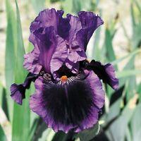 "Pagan Dance Iris Plant 4"" Pot | Reblooming Purple Black Violet Flowers Perennial"