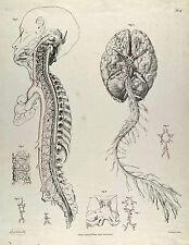 Mutter Museum Medical Anatomy Chart Brain Illustration 8x10 Canvas Art Print New