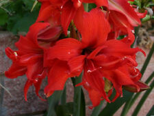 3 bulbs*AMARYLLIS FanFare®*-Red Double flower-S. African Hippeastrum FALL 2017