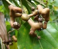 Der japanische Rosinenbaum - Hovenia dulcis - Raisin tree - 10+ Samen - Saatgut