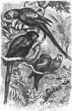 BIRDS. Cracker. Arara. Scarlet Macaw c1870 old antique vintage print picture