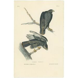 Audubon Octavo 1st Ed 1840 hand-colored lithograph Pl 8 Harlan's Buzzard