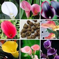 100x Seltene Bunte Calla Lily Blumensamen Hausgarten Pflanzen Samen-BonsaiS I9E7