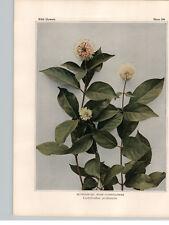 1934 Wildflower Book Plate Buttonbush  Northern Bedstraw  Bluets;Innocence