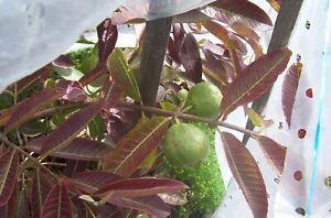 Guava (psidium guajava) Reliable, Viable Seeds