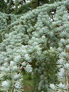 Wild Fresh Organic White Pine Needle for Tea / Extract SURAMIN 150g + tracking