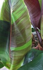10 graines de Musa Sikkimensis Red Tiger, bananier rustique, hardy banana seeds