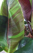 10 graines de Musa Sikkimensis Red Tiger, bananier rustique, hardy banana seeds
