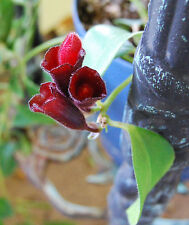 Lipstick Plant Purple Flowering Vining - Aeschynanthus Radicans - Hoya Companion