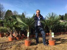1 x 4ft plus Premium Quality Trachycarpus Fortunei Palm Tree