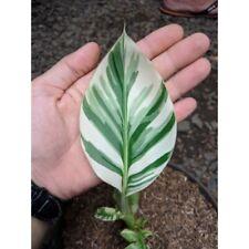 Banana Musa Aeae  variegated  plant Rare Free Phytosanitary Certificate