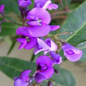 Hardenbergia lila, plant
