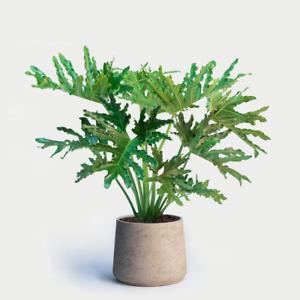 Philodendron bipinnatifidum selloum (Lacy Palm Tree) 10-100 Seeds •RARE Plant UK