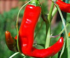 Pepper Seeds, Hot Portugal, Very Hot, 25 Heirloom non-gmo Free Shipping