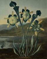 1803 | original engraving Pitcher Plant | Robert Thornton | from Temple of Flora