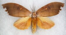 Insect/Moth/ Moth ssp. - Female 4.5""