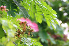 12 Premium Seeds Silk Tree Mimosa Albizia julibrissin Multi use Plant