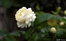Jasmine (triple bloomer) Live Plants