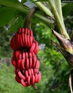 LAST 5 Sanzibar Musa Acuminata Red Dacca Banana Exotic Tropical Delicious