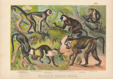 ANTIQUE MONKEY LITHOGRAPH GREEN MONKEY SPIDER MONKEY MACAQUE