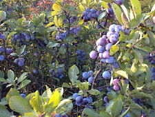 "Plum Berry - Beach Plum - Prunus maritima - 4"" Pot"