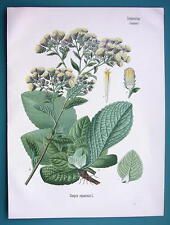 PLOUGHMAN'S SPIKENARD Conyza Squarrosa - Beautiful COLOR Botanical Print