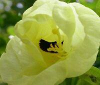 gelber Glocken - Orchideenbaum, der klettern kann !