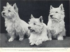 WESTIE WEST HIGHLAND WHITE TERRIER CHARMING IMAGE THREE DOGS OLD 1934 DOG PRINT
