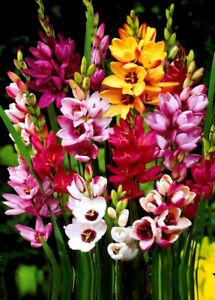 1-100 IXIA MIXED BULBS/CORMS BEAUTIFUL PERENNIAL GARDEN SUMMER FLOWERS-QUALITY