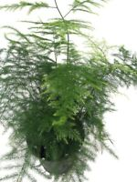 "Asparagus Fern Live Plant Leaf Plumosus Indoor 4"" Pot Easy to Grow Houseplant"