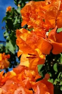 Well Rooted **BENGAL ORANGE** Live VARIEGATED Bougainvillea starter/plug plant*