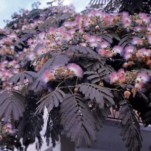 Albizia julibrissin 'Summer Chocolate' 9cm potted plant