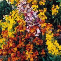 Wallflower- English Mix- 100 Seeds -