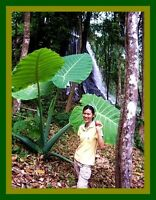 *UNCLE CHAN* BULB GIANT ELEPHANT EAR TARO Colocasia gigantea VERY RARE EDIB C621